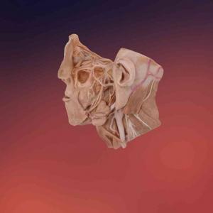 三叉神经标本